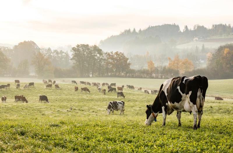 Сколько комбикорма нужно корове в день