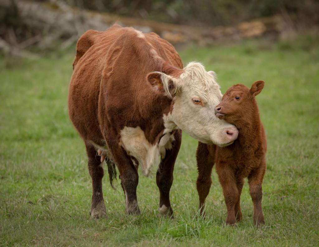 как отучить телёнка от вымени коровы