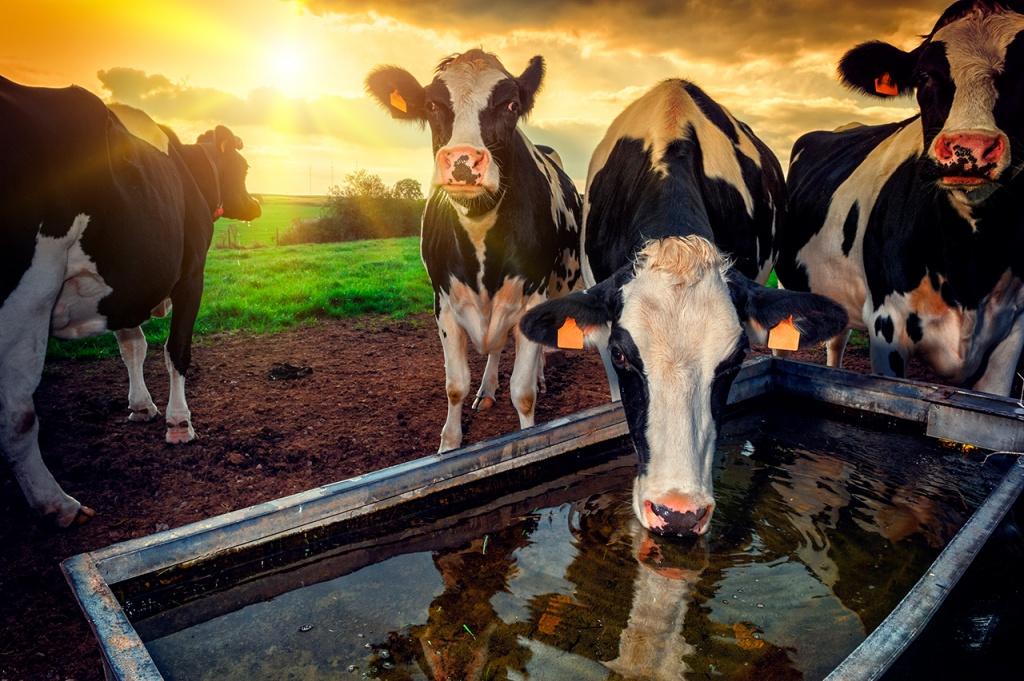 рацион мясных пород