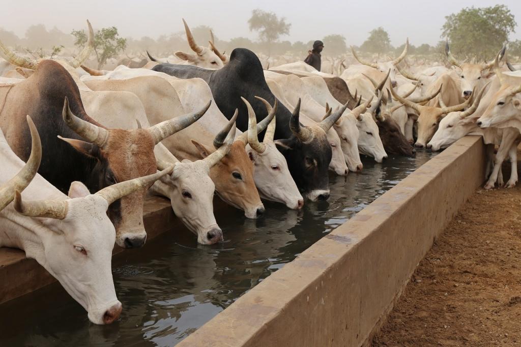 поение коровы